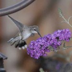 The Hummingbird, Symbol of Strength